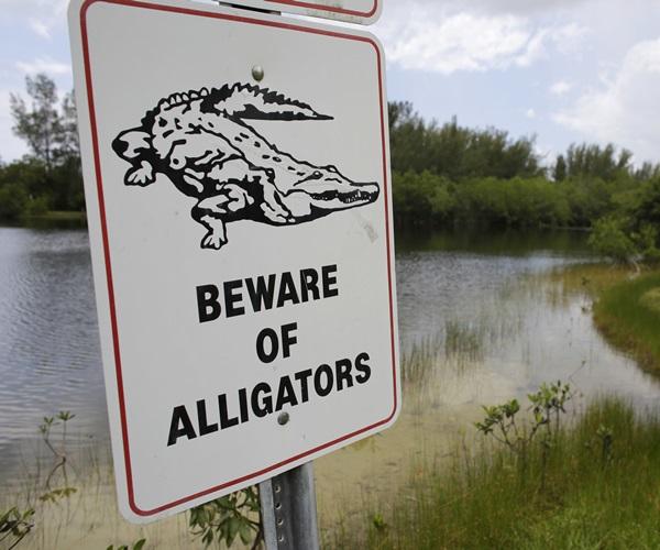 Alligator Drags Toddler_426802