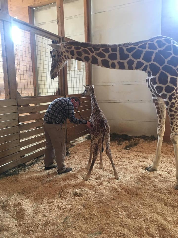 Giraffe_570430