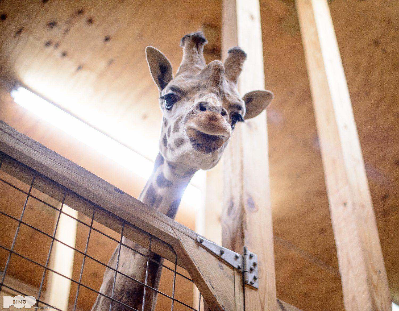 Giraffe_563988