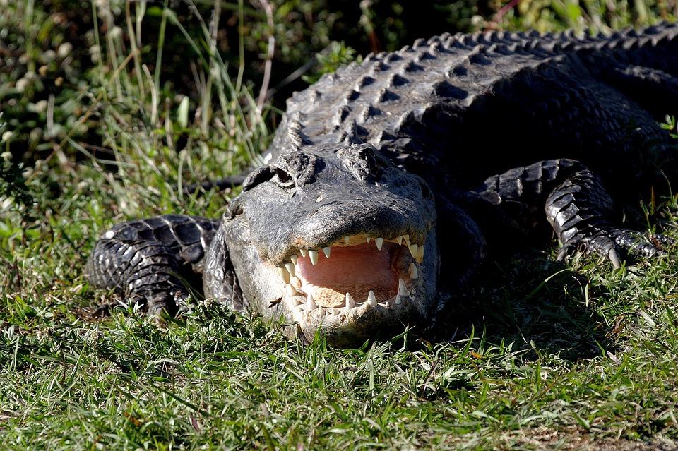 alligator-1402085_960_720_540080