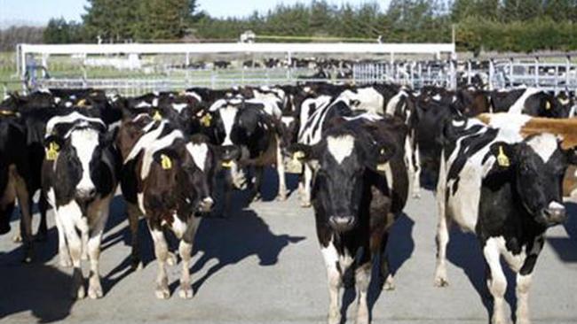 cowsforweb_599649