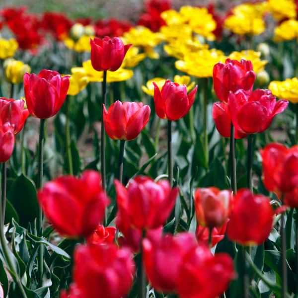 tulips_404401