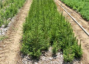 Saratoga Seedlings_1547493751203.jpg.jpg