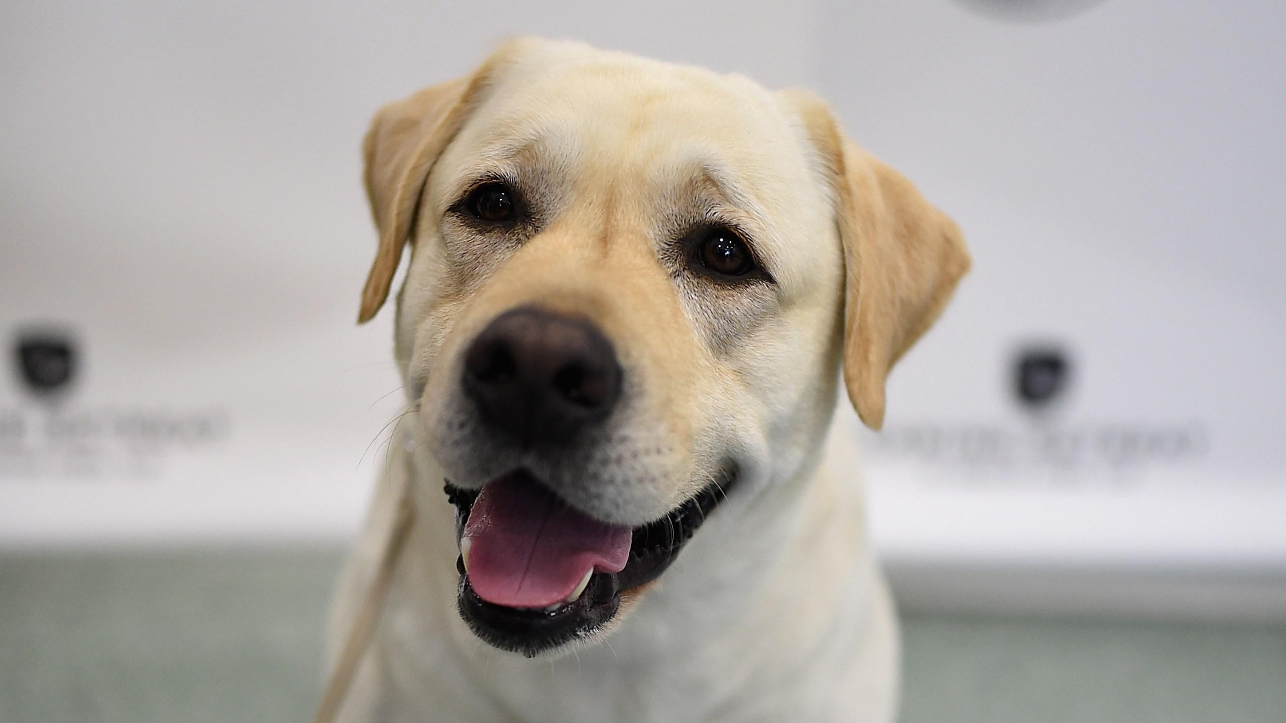 Labrador Retriever_1553097881752