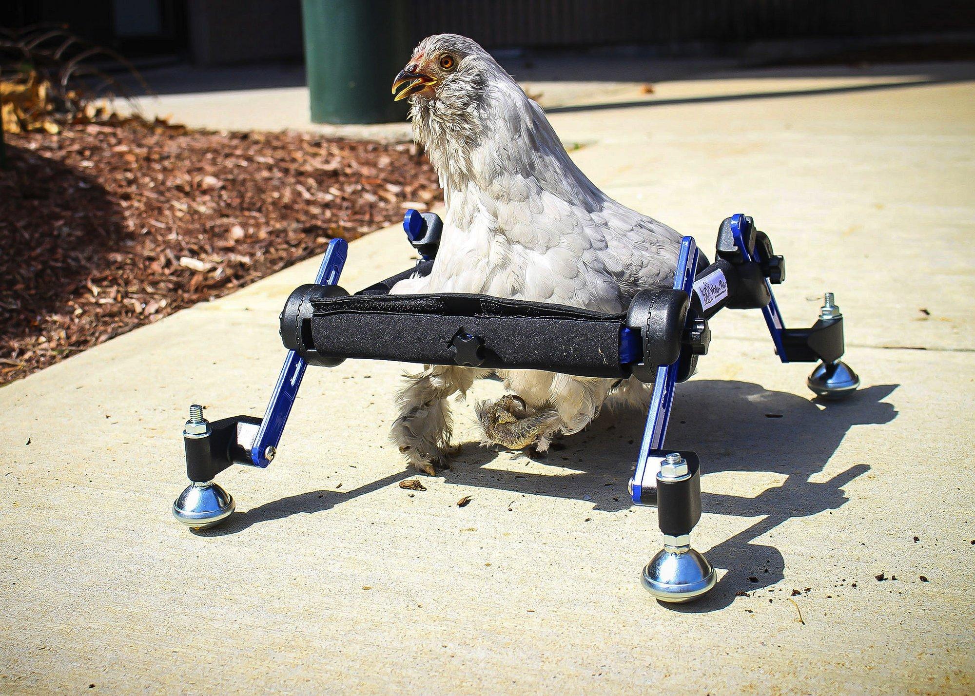 Disabeld pet chicken_1555095058357.jpg