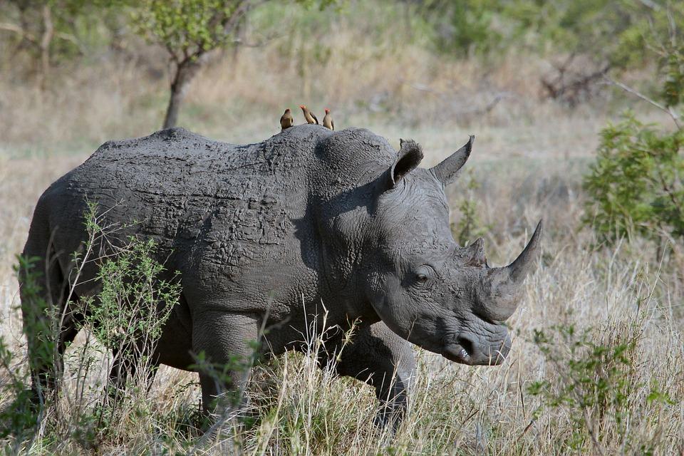 Rhino_1554716019962.jpg