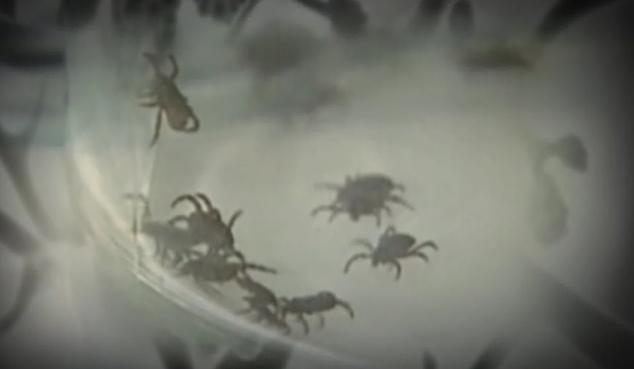 Lyme ticks_440887