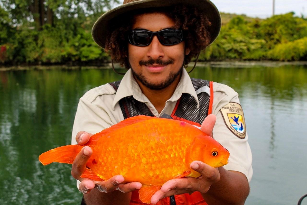 BUFFALO GIANT GOLD FISH PRODUCER CREDIT Facebook Buffalo Niagara Waterkeeper_1560945331255.jpg.jpg
