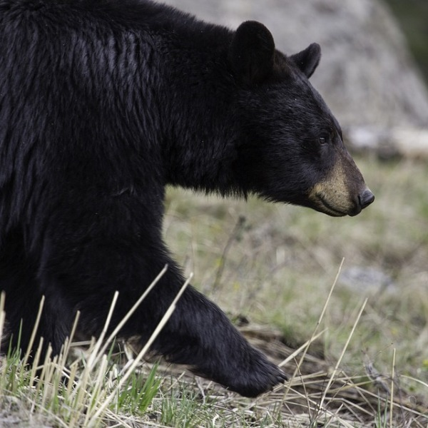 Black Bear_594671