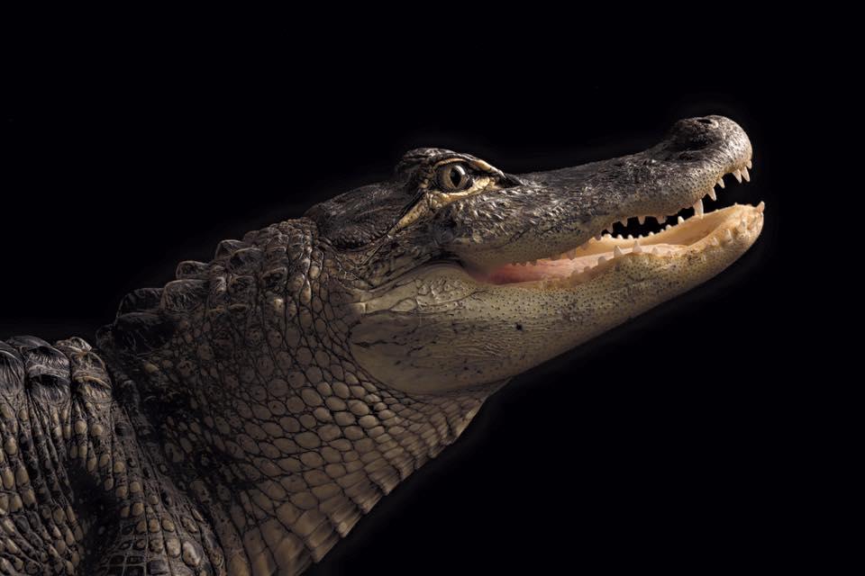 stolen alligator new lebanon_1559351666642.jpg.jpg