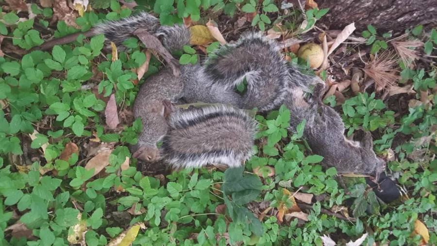 Germantown squirrel hunting controversy