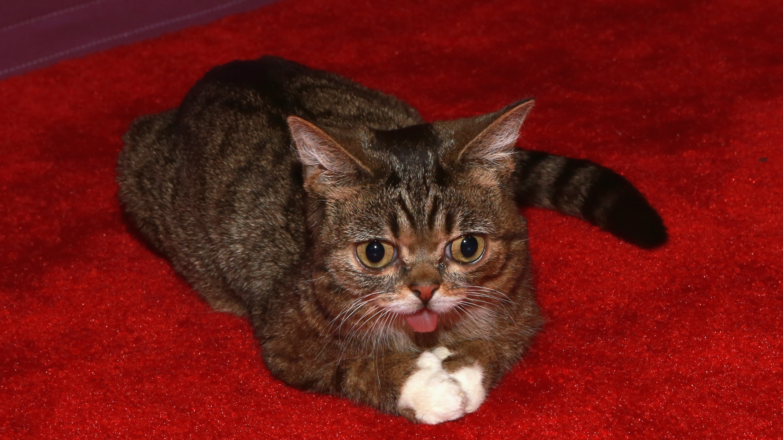Lil Bub, Internet-famous cat, dies at 8