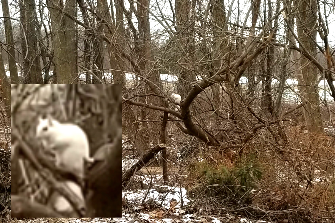 A white squirrel in the woods