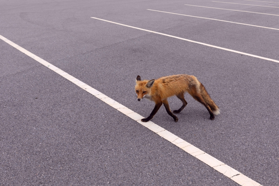 How to deal with red fox dens in suburban areas, from the DEC