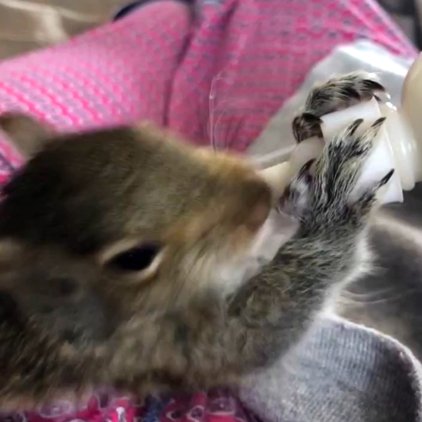 Baby squirrel drinking from a baby bottle