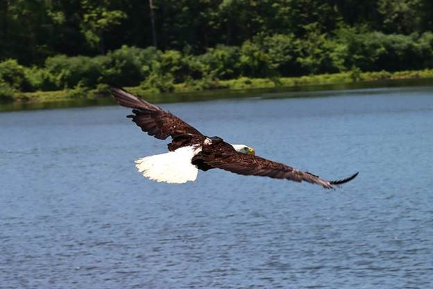 Rehabilitated bald eagle in Schoharie County outfitted with tracking monitor flies upon release
