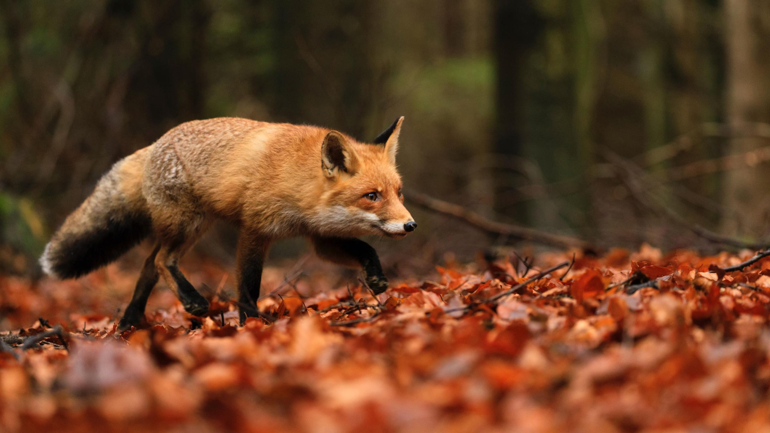 Fox on autumn leaves