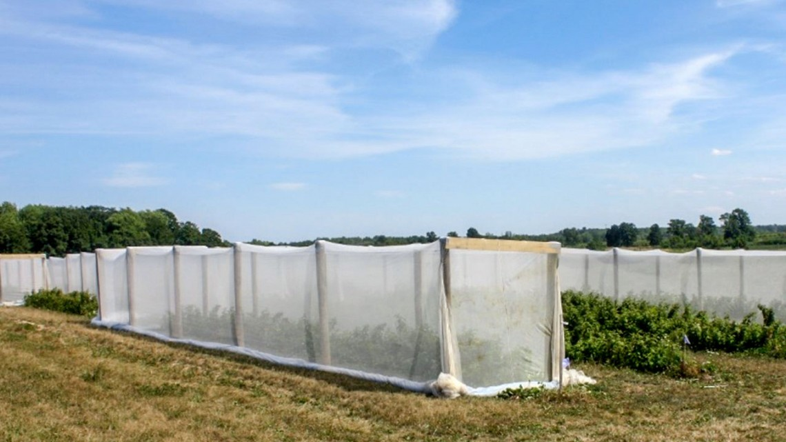 Exclusion netting on berry crops