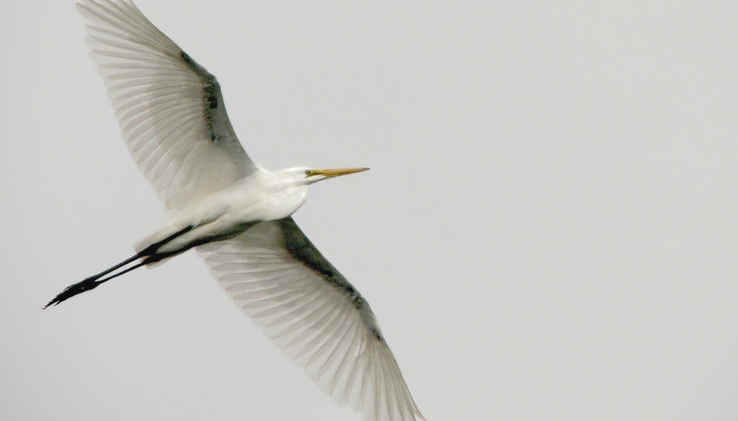 A great egret against a gray sky