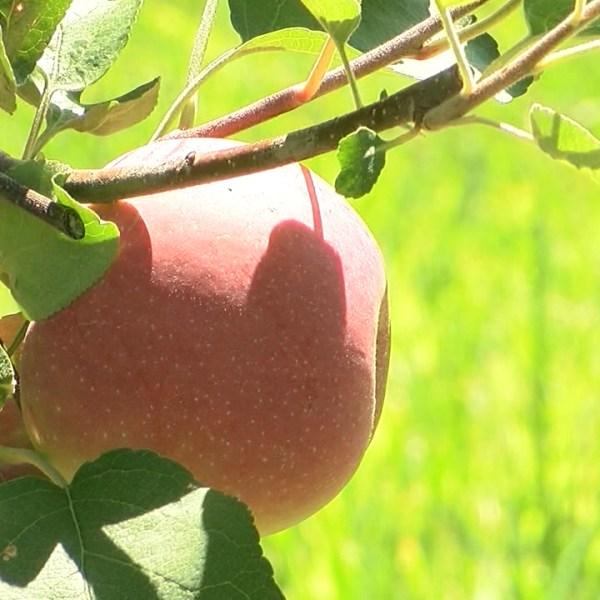 orchard generic apple