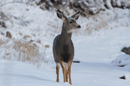 Deer Follows 77 Year Old Colorado Woman Into Home Eats