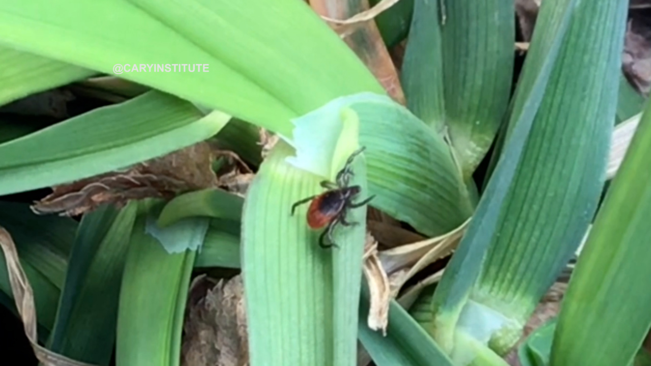 Ticks in the grass