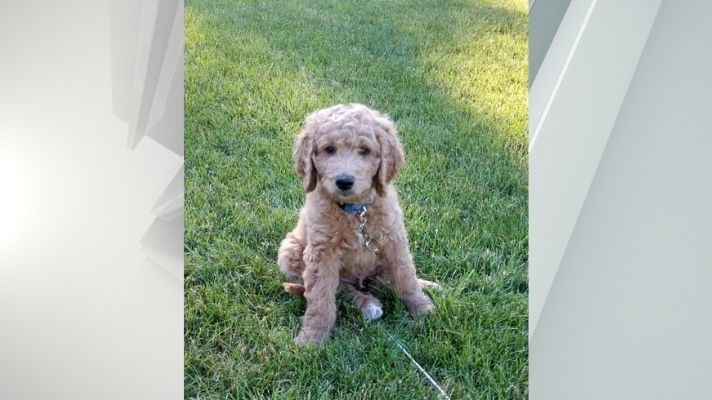 albany police goldendoodle therapy dog