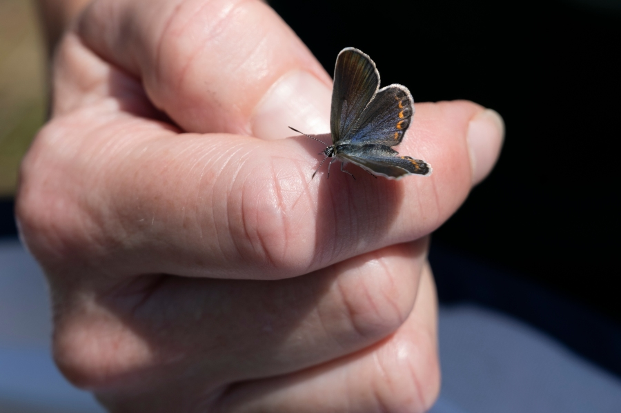 Karner blue butterflies released at Albany Pine Bush Preserve Thursday, July 16, 2021. Photo courtesy of the New York DEC.