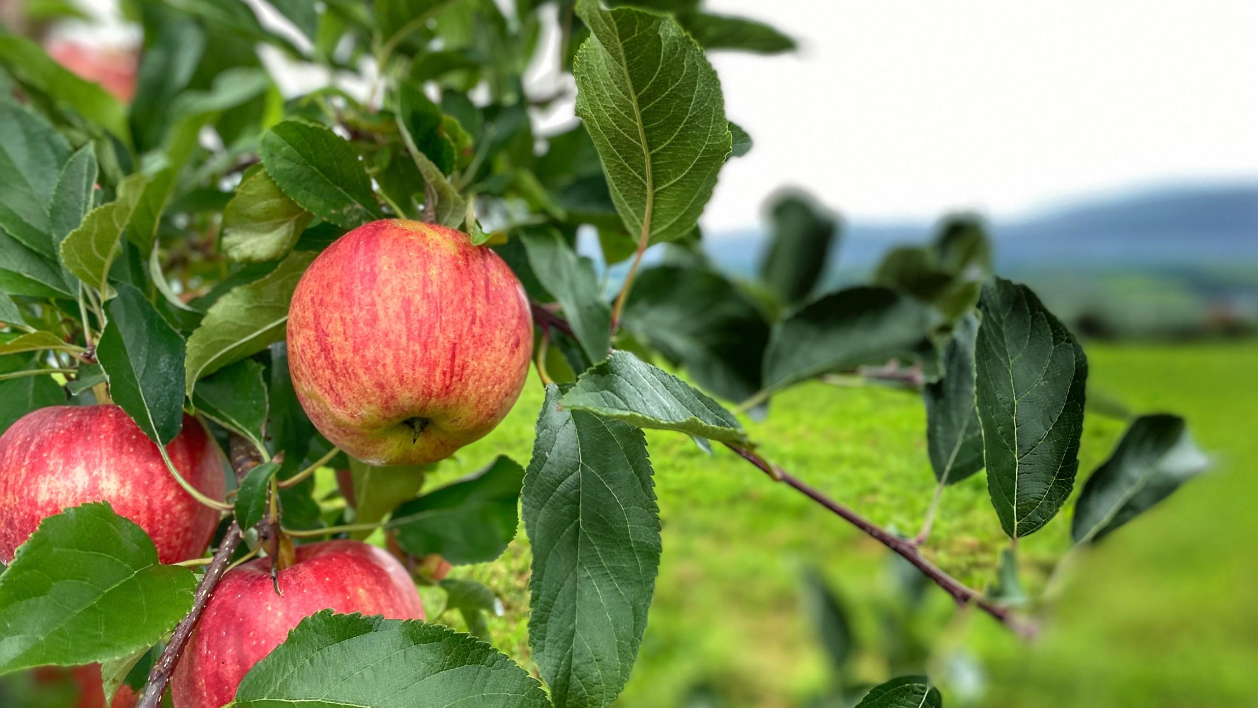 Beak and Skiff Apples