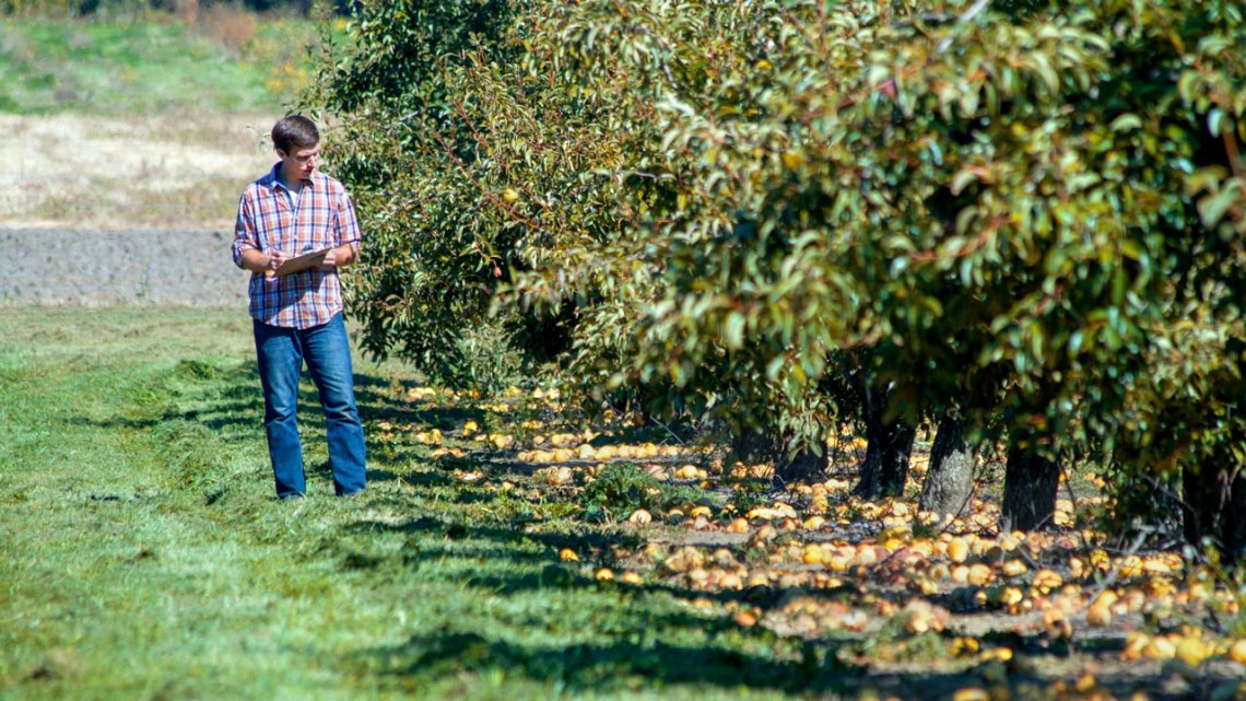 Colin Day, a research support specialist, evaluates fruit damage in orchards at Cornell's AgriTech campus in Geneva, New York. (Cornell)